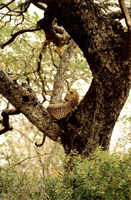 Leopard Leisure