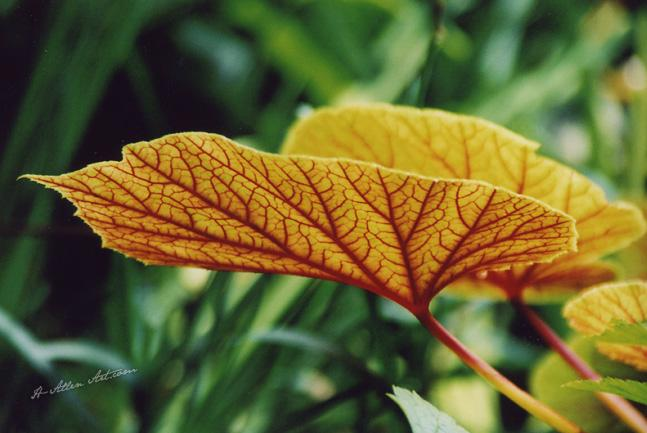 Translucent Leaf