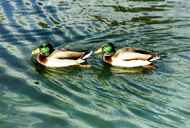 Duck Tails