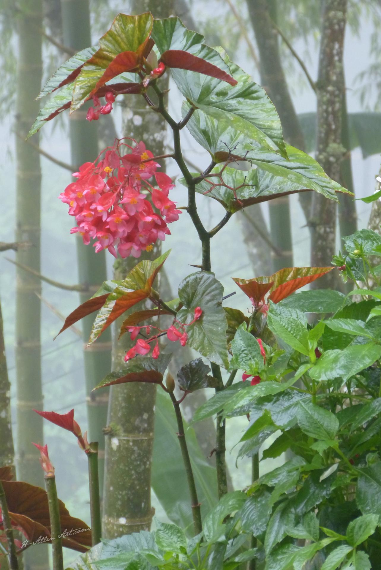 Begonias Blooming in the Rain, Cali, Colombia